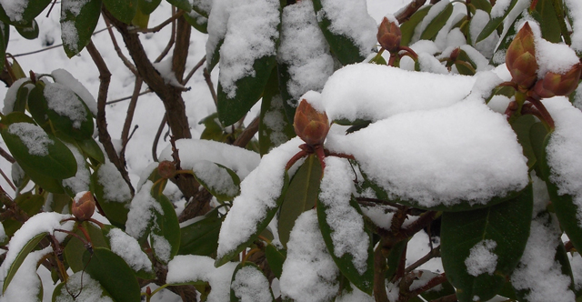 Rhododendron covered with snow