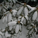 Snowcovered rhododendrons in wintertime