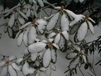 snow covered leaves